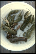 Raise giant sized freshwater crayfish!
